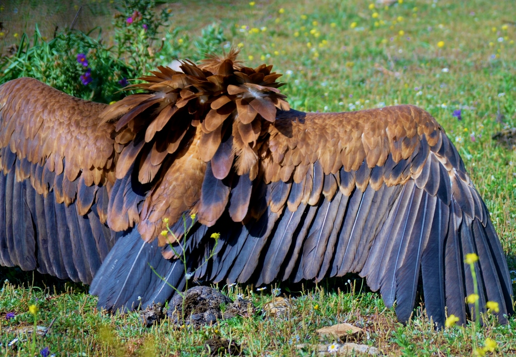 Spanish Griffon Vulture showing off its size